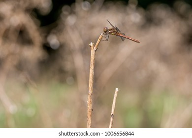 Brown red dragonfly is resting