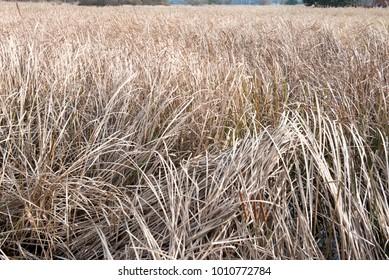 Brown reeds