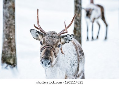 Brown Reindeer in Finland at Lapland in winter.