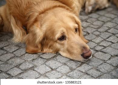 Brown retriever dog lying on the pavement looking sad