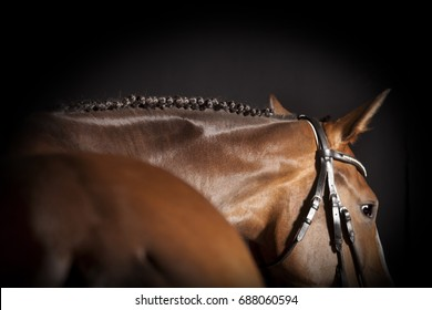 A brown riding horse with bridle and plaited mane against a black background