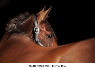 a brown riding horse in the studio in front of black background