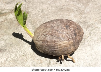 brown, ripe and matured coconut with stem and roots