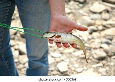 A brown or river trout in a hand.