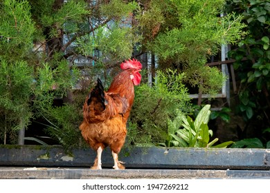 Brown Rooster on the Roof with Plants and Trees Surrounded