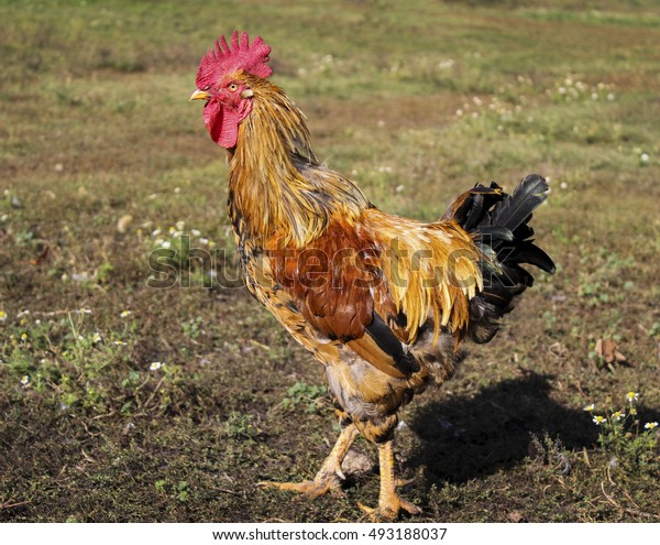 Brown rooster with red comb and dark tail standing on a yellow autumn grass