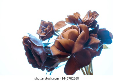 brown roses on a white background, buds close-up, studio shot.
