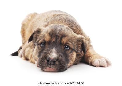 Brown sad puppy on a white background.