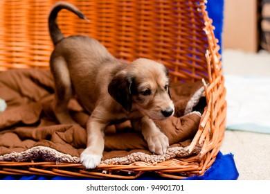 A brown saluki pup in a basket