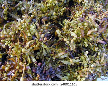 Brown Sargassum fluitans sea macroalgae