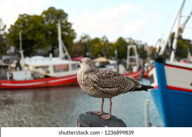 A brown sea gull perches atop a wooden post in the picturesque resort town of Warnemunde, Germany, on the Baltic Coast.