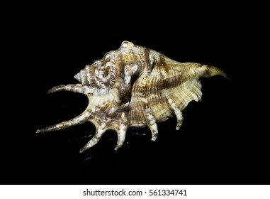 Brown seashell on a black background
