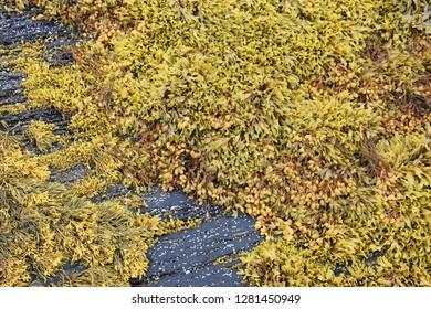 Brown seaweed (Ascophyllum nodosum) also known as Norwegian kelp. Brown alga in Norway.