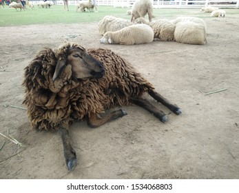 brown sheep laying on the floor with white ones in the background in the farm in Thailand
