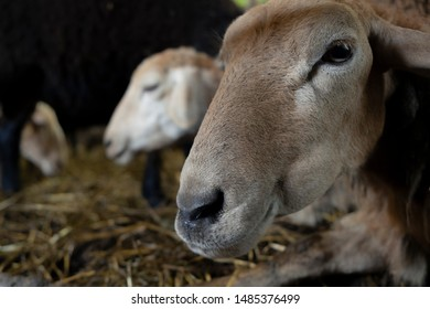 Brown sheep laying on a ground portrait.
