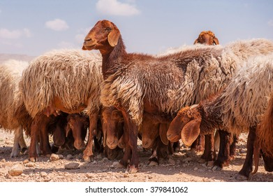 Brown sheep on a hill