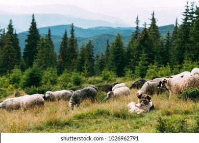 Brown shepherd dog protect the sheeps heard on summer mountains valley. Landscape photography