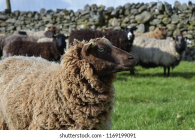 Brown Shetland sheep staring into the distance