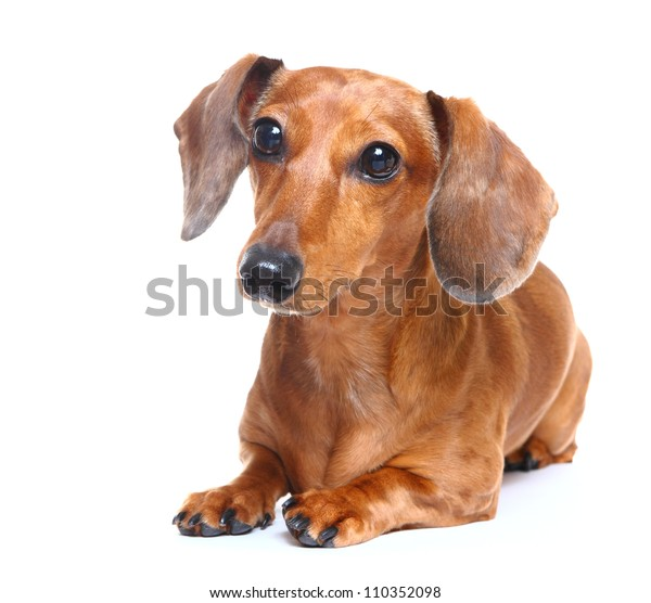 Brown Short Hair Dachshund Dog Stock Photo Edit Now 110352098