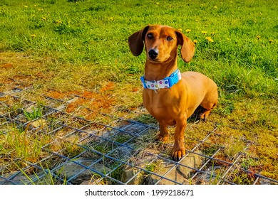 Brown short haired dachshund looking at camera and sitting calmly on metal framework over stones and yellowish green grass, sunny day in the park
