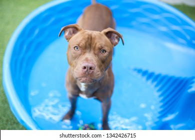 Brown short-hair dog looks at the camera while playing in a plastic kiddie pool outside