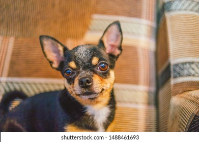 brown shorthair red haired chihuahua dog lies and sits on the sofa.Chihuahua on a brown sofa. A black-brown-white tricolor Chihuahua dog is resting on a sofa or a checkered armchair.