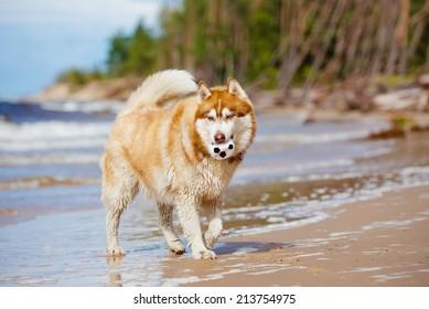 brown siberian husky dog on the beach