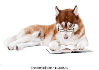 brown siberian husky dog reading book in specs