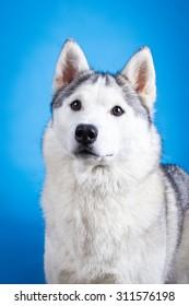 Brown siberian husky smiling dog portrait on blue background