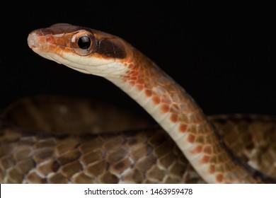 Brown sipo snake (Chironius fuscus)
