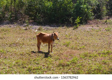 Brown skinny cow on pasture ground in Guadeloupe, France