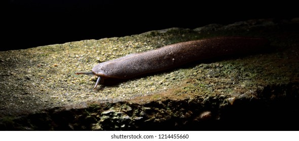 Brown slug in the dark background. The slug is walking on a wet floor in a botanical garden. It bites and destroys trees.