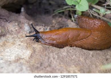 brown slug an a stone