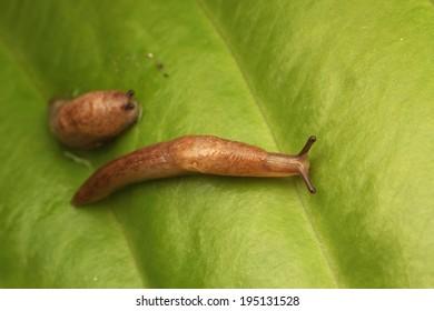 Brown slugs (Deroceras) on green leaves of hosta plant
