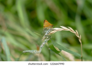 A brown, Small Skipper, butterfly sits on  a blade of grass with the green foliage of a meadow in the background