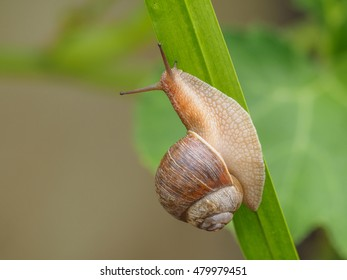 Brown snail on a green leaf.