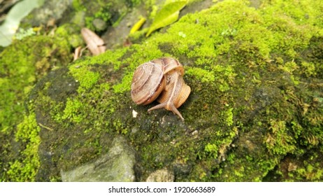 Brown snail on mossy stone, close up picture.