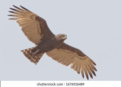 Brown Snake Eagle (Circaetus cinereus), adult in flight, Gambia.