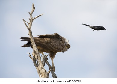 Brown Snake Eagle in a tree is pestered by a Fork Tailed Drongo
