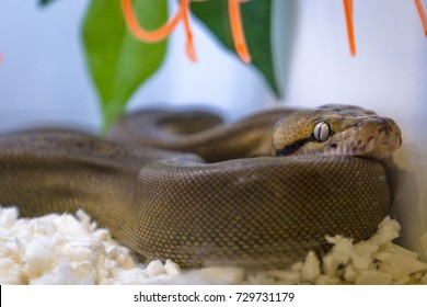 brown snake laying still