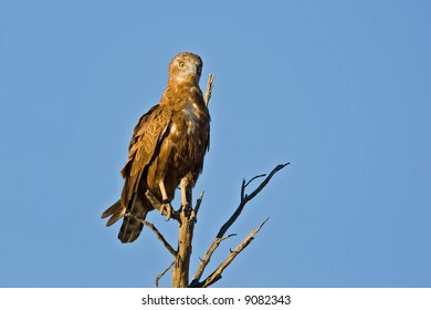 Brown snake-eagle perched on dead tree; circaetus cinereus; South Africa
