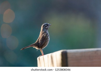 brown song sparrow at Vancouver BC Canada.