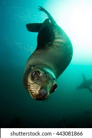 Brown (South African) Fur Seal