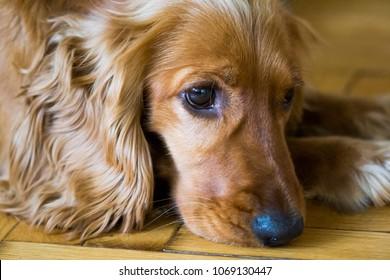 Brown spaniel dog.