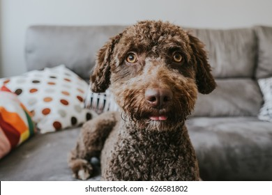 Big Dogs With Short Curly Hair 92