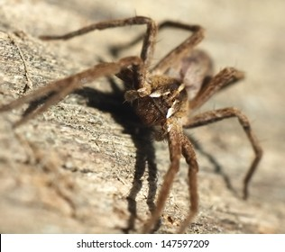 brown spider with brown background