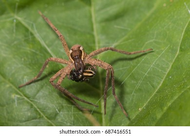 brown spider eating jumping spider