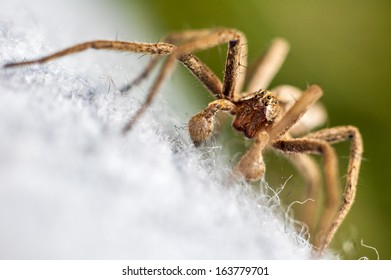 brown spider with green background