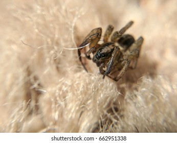brown spider on shag carpet