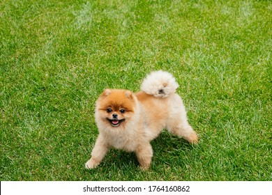 Brown spitz on grass. Cute fluffy charming red-haired Pomeranian Spitz in full growth on the green grass in the park. Walk with dog on a sunny day. Caring for a pet